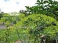 Starr-130504-4391-Anethum graveolens-flowers-Hawea Pl Olinda-Maui (25117388411).jpg