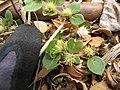 Starr-130610-4793-Alternanthera pungens-seeding habit-Kealia Pond NWR-Maui (24844240319).jpg