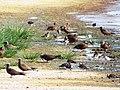 Starr-130911-0980-Cyperus laevigatus-habitat with Laysan Ducks Ruddy Turnstones and Brown Noddies-E Lake-Laysan (24927635550).jpg