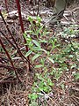 Starr-170225-0050-Conyza bonariensis-flowering habit-Lower Waiohuli Trail Polipoli-Maui (32566839763).jpg