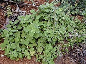 Plectranthus parviflorus - Cockspur flower in Hawaii