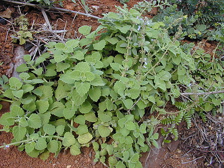 plectranthus parviflorus wikipedia