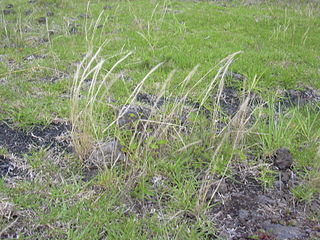 <i>Vulpia bromoides</i> Species of grass in the family Poaceae