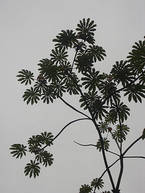 Description de l'image Starr_031118-0038_Cecropia_obtusifolia.jpg.