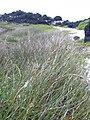 Starr 040410-0216 Cyperus laevigatus.jpg