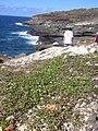 Starr 040711-0033 Jacquemontia ovalifolia subsp. sandwicensis.jpg