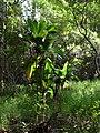 Starr 041113-0641 Cordyline fruticosa.jpg