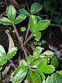 Starr 041211-1383 Fragaria chiloensis subsp. sandwicensis.jpg