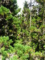 Starr 050831-4287 Cryptomeria japonica.jpg
