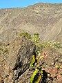 Starr 061003-9392 Polypodium pellucidum.jpg