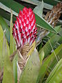 Starr 070308-5380 Unknown bromeliaceae.jpg