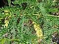 Starr 070404-6613 Prosopis juliflora.jpg