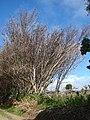 Starr 070604-7255 Syzygium jambos.jpg