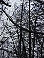 Starr 070908-9158 Pinus sp..jpg