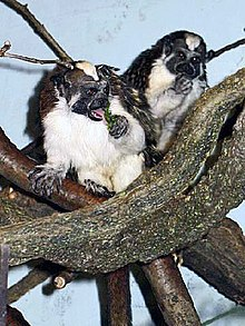 Two small monkeys sit in a tangle of branches.  They are facing forward, showing their dark faces and white bellies.  Their dark hands and feet and some dark fur on their backs are visible, as are reddish triangles of fur on the front of their heads.