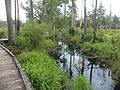 Stephen C. Foster State Park Trembling Earth Nature Trail 03.JPG
