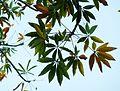 Sterculia murex, loof, b, Voortrekkerbad.jpg