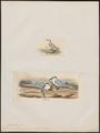 Sterna melanauchen - 1700-1880 - Print - Iconographia Zoologica - Special Collections University of Amsterdam - UBA01 IZ17900366.tif