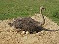 Struthio camelus - strus (1).JPG