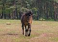 Stukenbrock - 2016-05-01 - Senner Pferde Moosheide (078).jpg