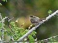 Sulphur-bellied Warbler (Phylloscopus griseolus) (45815915911).jpg