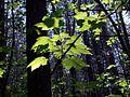 Sun Shines Through In Hugset Woods - geograph.org.uk - 422297.jpg