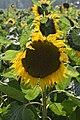 Sunflower 03.jpg