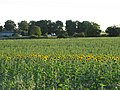 Sunflowers at Hartley Farm - geograph.org.uk - 209897.jpg
