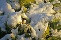 Sunlit snow on conifer - geograph.org.uk - 1028796.jpg