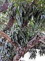 Swietenia macrophylla 108.jpg