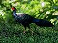 Swinhoe's Pheasant 0673.jpg