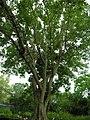 Sycamore fig tree (394296848).jpg