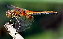 En representant för ordningen, gulfläckad ängstrollslända eller Sympetrum flaveolum