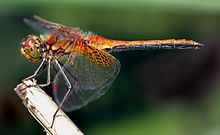 A multi-colored dragonfly on branch facing left