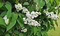 Syren (Syringa vulgaris) 003.jpg