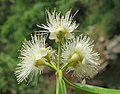 Syzygium hemisphericum 13.jpg