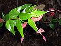 Syzygium luehmannii leaf1.JPG