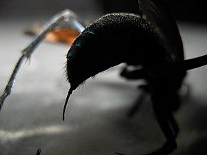 Tarantula hawk - Image: T Hawk stinging organ