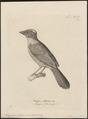 Tachyphonus rubicus - - Print - Iconographia Zoologica - Special Collections University of Amsterdam - UBA01 IZ15900283.tif