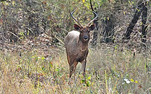 Tadoba Andhari Tiger Project - Sambar deer at Tadoba National Park