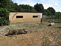 Tamworth pigs at the Rare Breeds Centre, Woodchurch, Kent.jpg