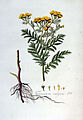Tanacetum vulgare — Flora Batava — Volume v3.jpg
