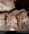Tarantula (Theraphosidae) (27080144695).jpg