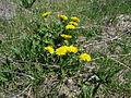 Taraxacum officinale plant16 ST (16189268980).jpg