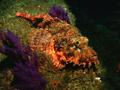 Tassled scorpionfish2.png
