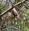 Tawny-bellied Babbler (Dumetia hyperythra) W IMG 9235.jpg