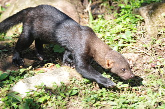 Manú National Park - Wild tayra at Manu National Park
