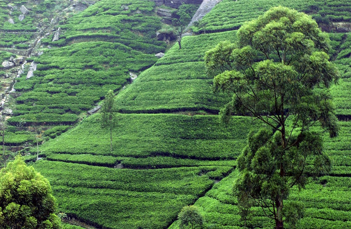 Tea plantation near Kandy, Sri Lanka.jpg