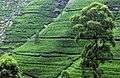 Tea plantation near Kandy, Sri Lanka.jpg