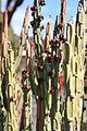 Teguise Guatiza - Jardin - Euphorbia attastoma 02 ies.jpg